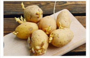Niste ni svjesni opasnosti po zdravlje: Evo kako prepoznati da li proklijali krompir smijemo jesti!