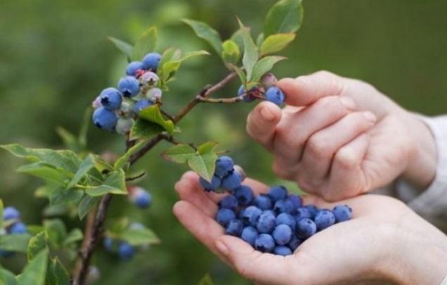 Just a few of these berries a day is enough and you will no longer need DOCTORS!