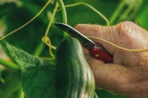 Jedna kap joda liječi biljke od pepelnice, truljenja i gljivica: Ovaj trik svaki baštovan mora da zna!