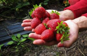 SEZONA JAGODA JE OTVORENA: Uz pomoć OVOG jednostavnog trika jagode će danima ostati svježe