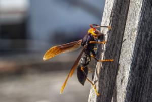 Iskusan pčelar savjetuje kako tretirati ubod stršljena: Nikada ne smijete napraviti ove dvije stvari!