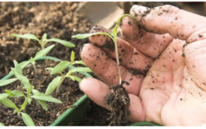 Proizvodnja rasada paradajza – Savjeti za uspješnu proizvodnju!