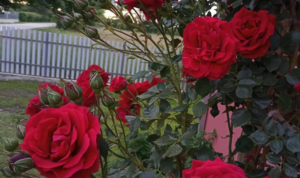 Ruže najbolje rastu pored ovih biljaka!